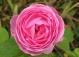 """Парковые розы - что это?  Ситуация на  """"Фукусиме-1 """" все более ухудшается."""